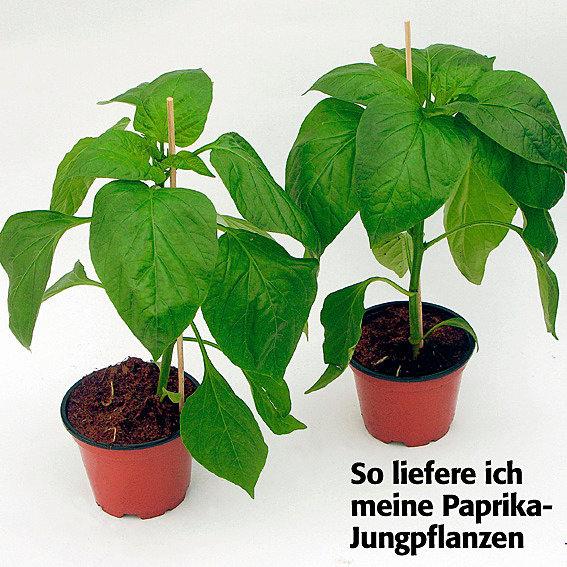 Gemüse-Pflanze Paprika Bendigo F1, veredelt | #2