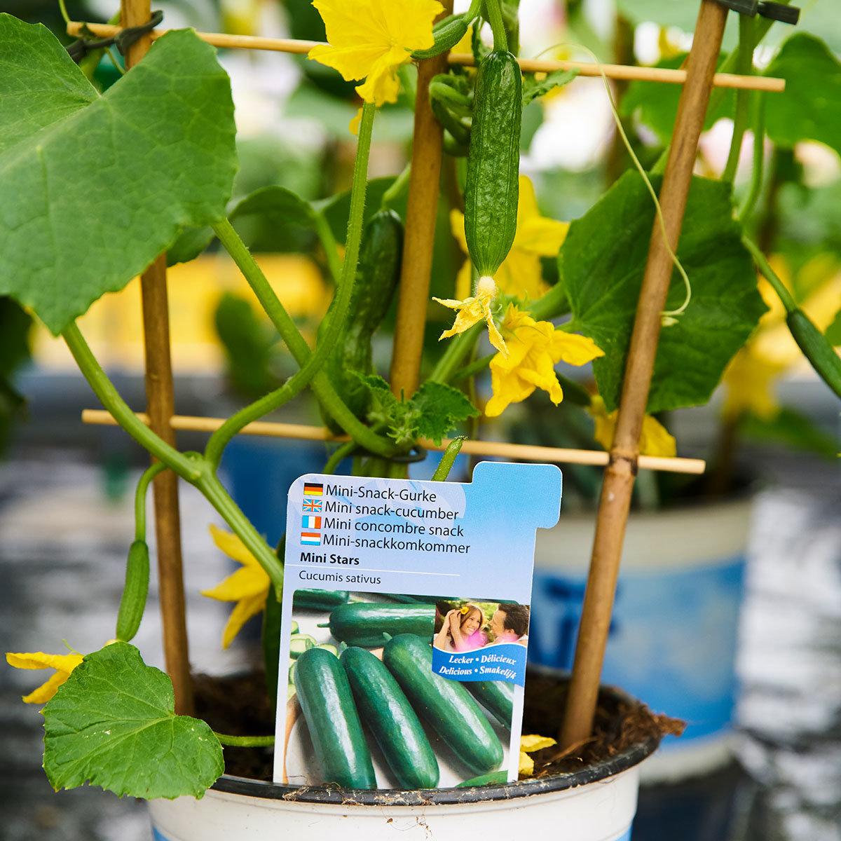 Gurkenpflanze Mini Stars, veredelt, im ca. 12 cm-Topf   #2