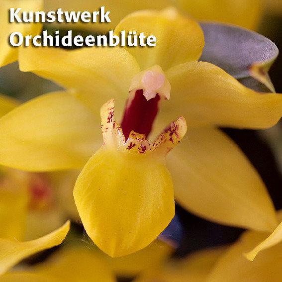 Kissen-Orchidee Sunlight | #2