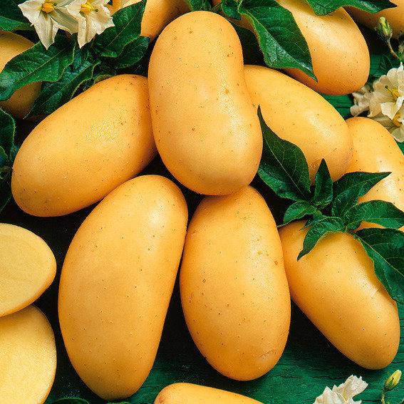 BIO Kartoffel Belana, 10 Stück | #2