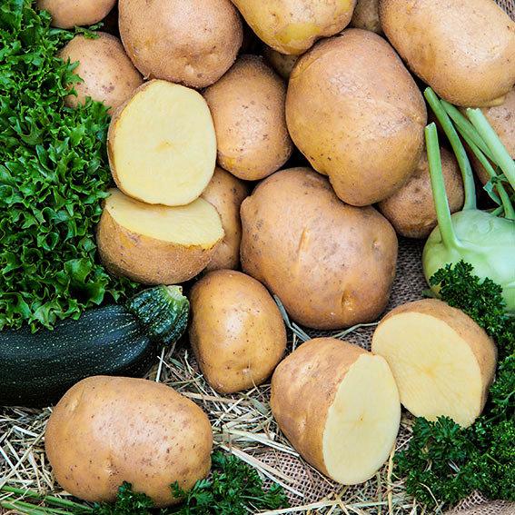 Kartoffel Agria, 10 Stück | #2