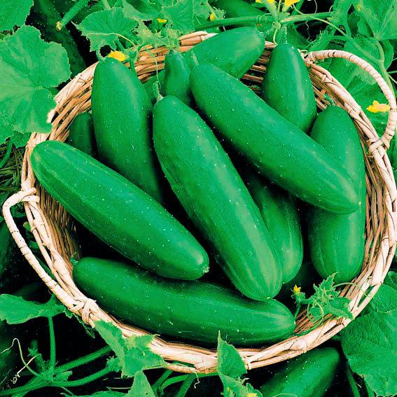 Seedcell Freiland-Salatgurke, 8 Seedcells | #3