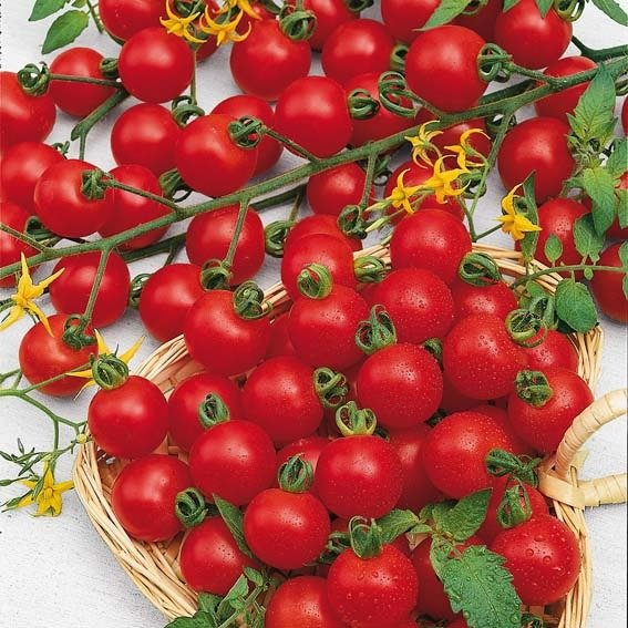 Seedcell Kirsch-Tomate, 8 Seedcells | #3