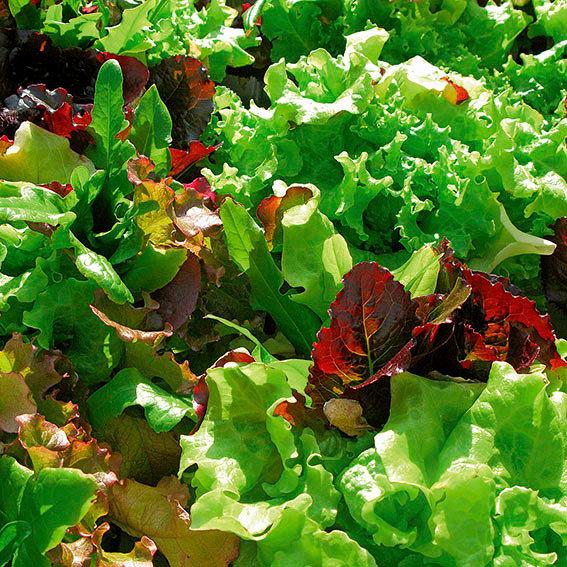 Samenmischung Pflücksalat Baby-Leaf | #3