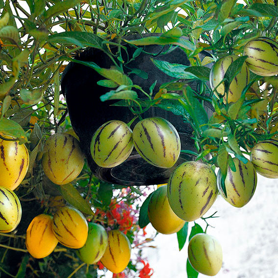 Birnenmelone Pepino | #3