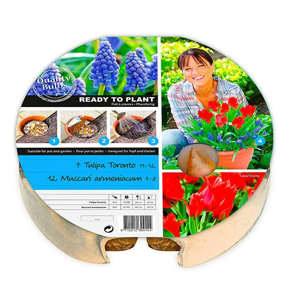 Pflanz-Tray Tulpen und Traubenhyazinthen | #3