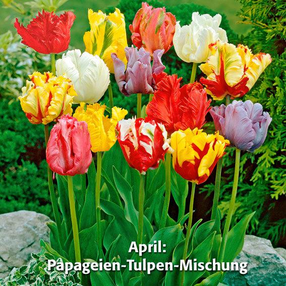 Blumenzwiebel-Sortiment 12 Wochen Tulpen-Blüte | #3