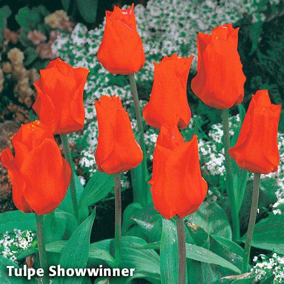 Sortiment Garten-Krokus-Mix und Tulpe Showwinner | #3
