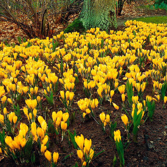 Großer Gelber Frühlingskrokus | #3