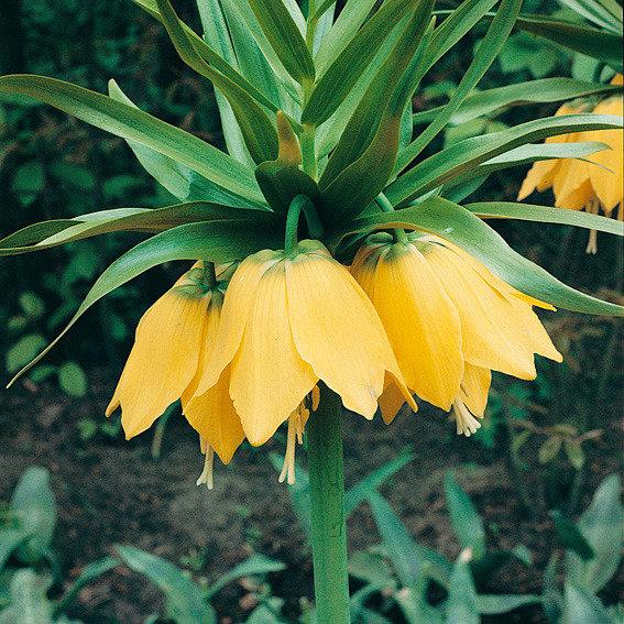 Kaiserkrone Lutea, gelb | #3