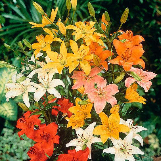 Gärtner Pötschkes Asiatische Gartenlilien-Mischung | #3