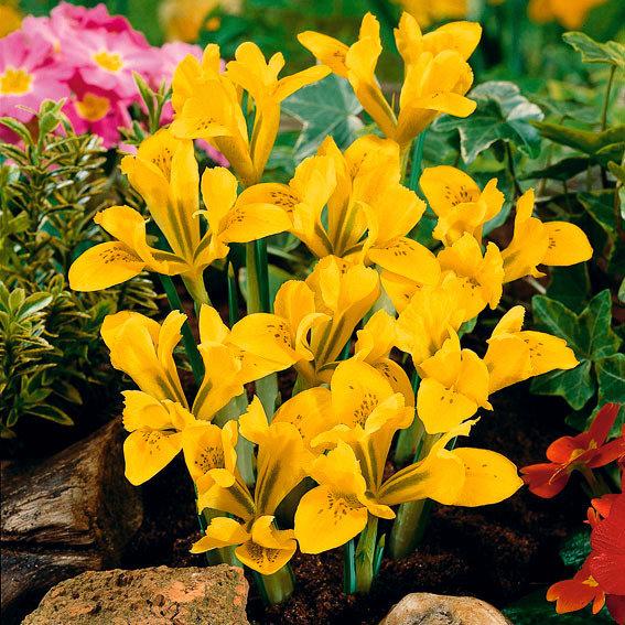 Vorfrühlings-Iris | #3