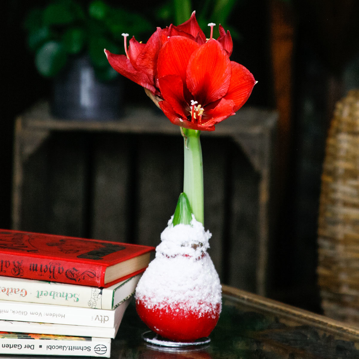 Amaryllis Wax, Touch of Snow Christmas-Red | #3