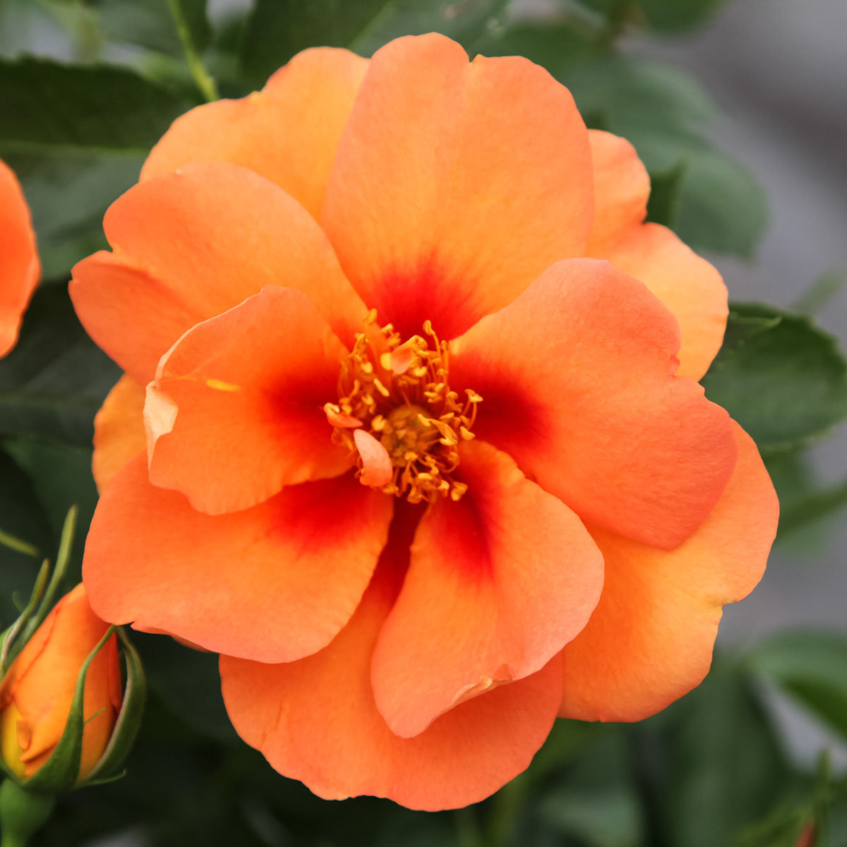 Rose Gärtner Pötschkes Orange Eyeconic®, 1 Stück | #3