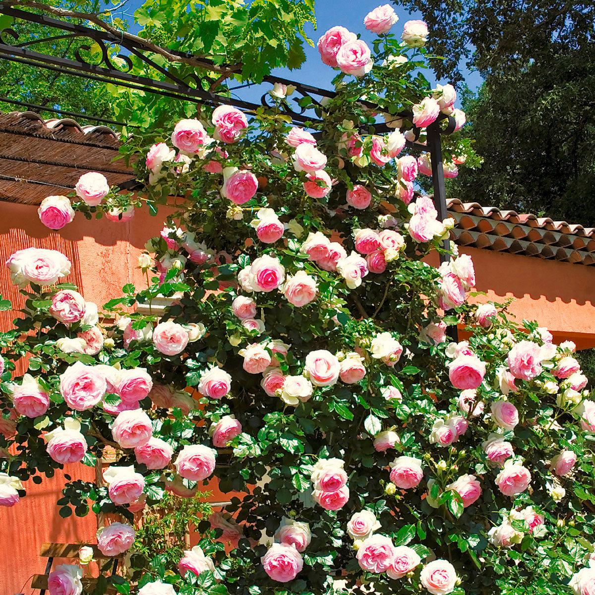 rose eden rose im 5 5 liter topf von g rtner p tschke. Black Bedroom Furniture Sets. Home Design Ideas