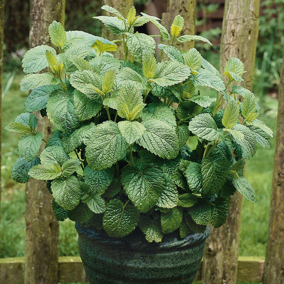 Kräuterpflanze Zitronenmelisse Relax, im ca. 12 cm-Topf | #3