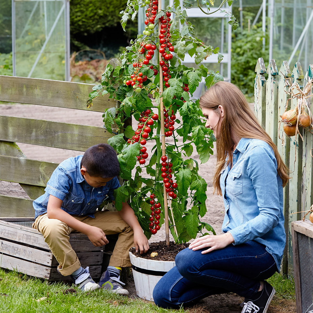 Tomaten-Kartoffelpflanze TomTato, veredelt | #3