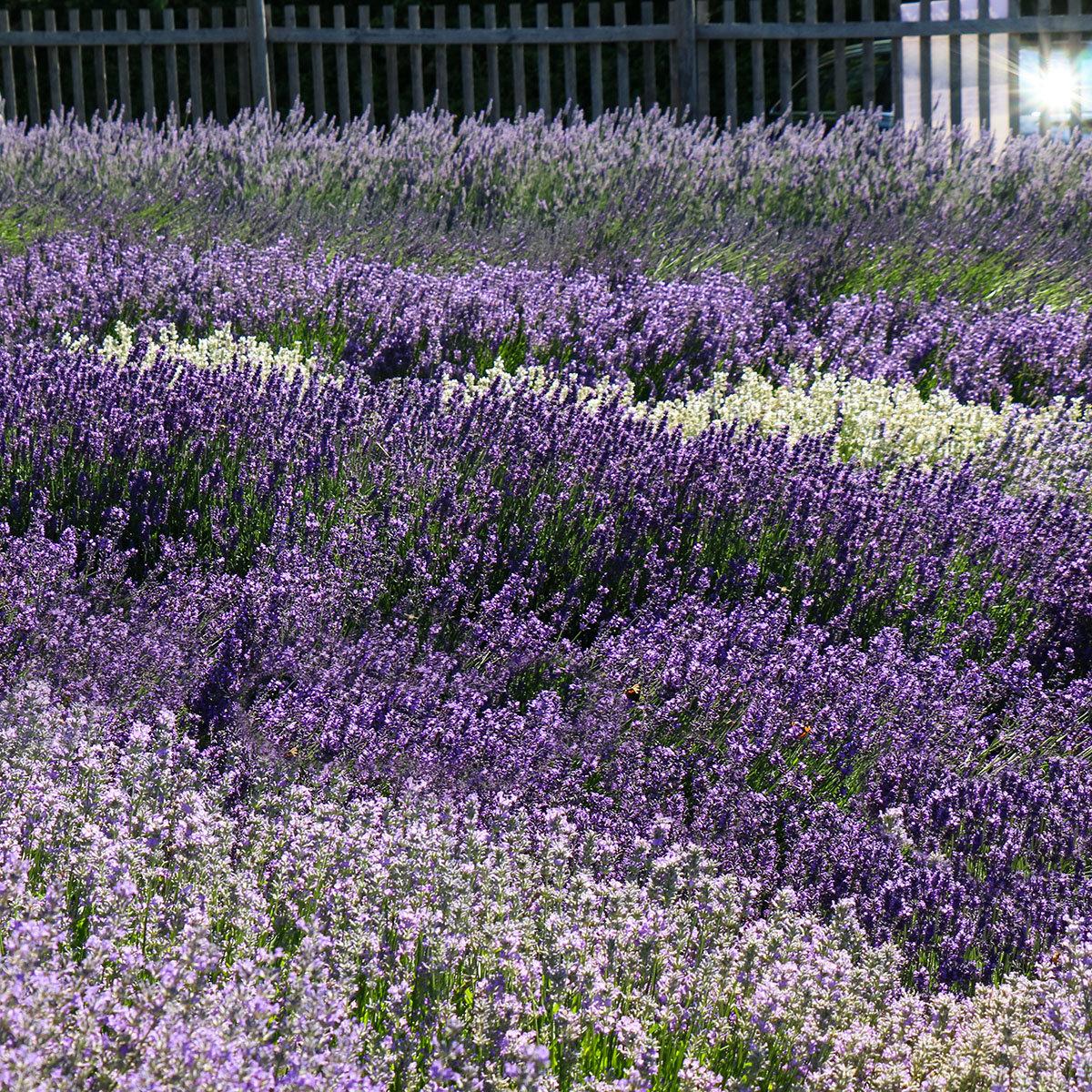 Englischer Lavendel Elizabeth, im ca. 13 cm-Topf | #3