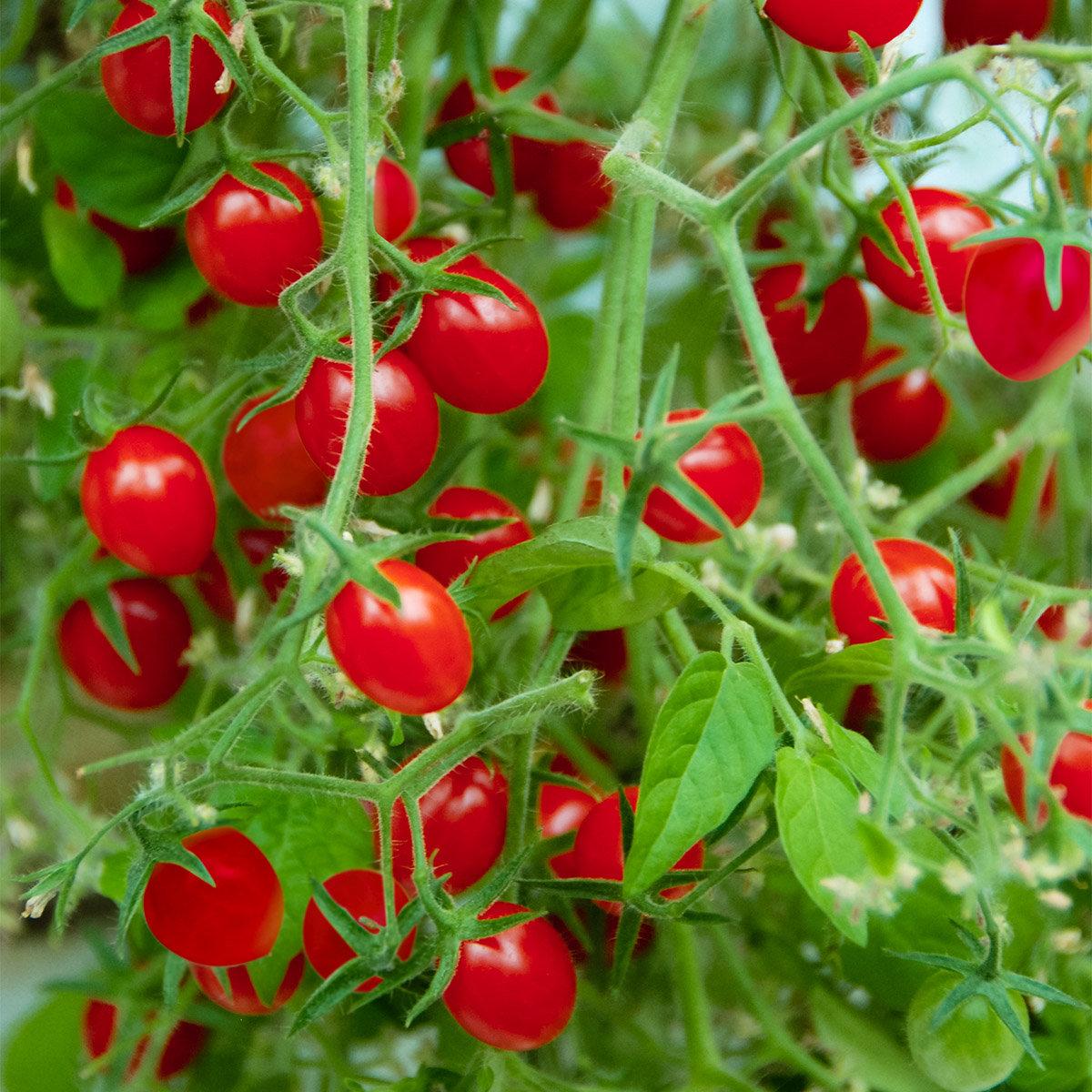 Tomatensamen Gärtner Pötschkes Mini Cherry F1 | #3
