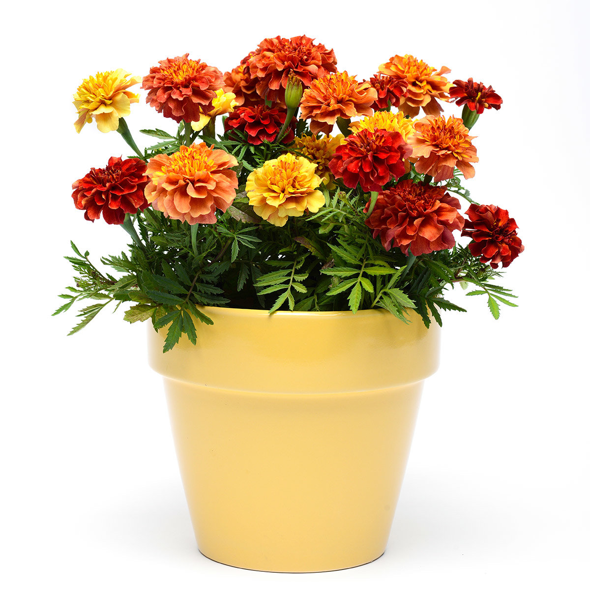 Tagetes Strawberry Blonde | #3