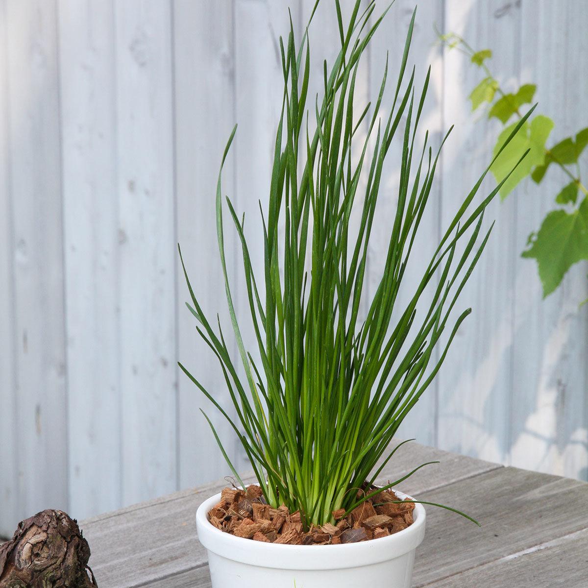 Kräuterpflanze Schnitt-Knoblauch, im ca 12 cm-Topf   #3