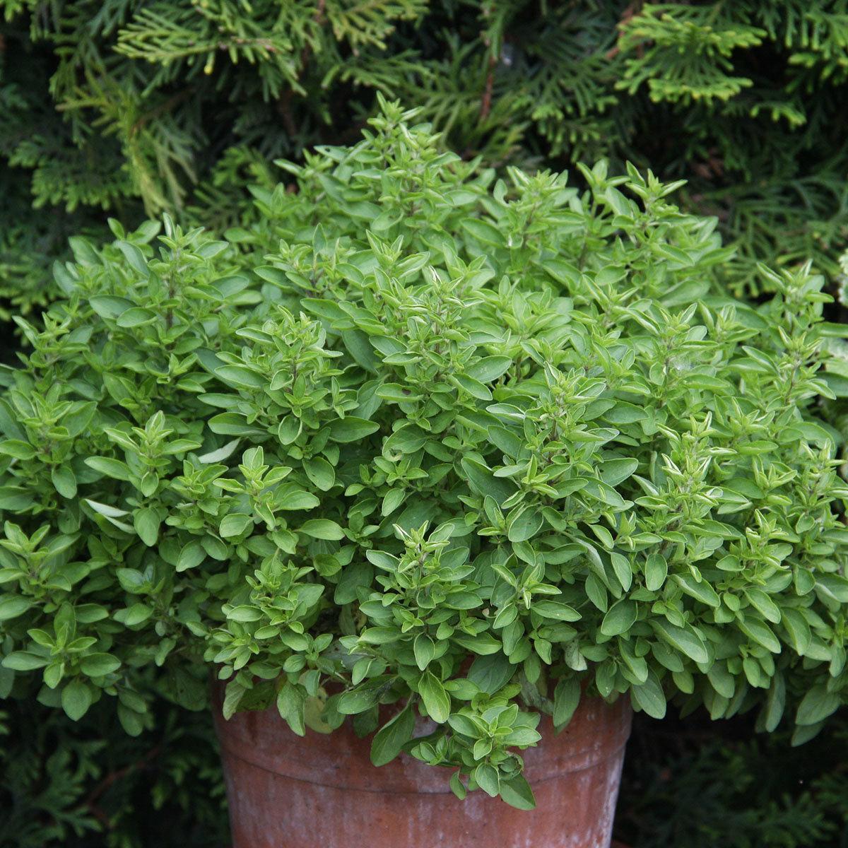 Küchenkräuterpflanze Oregano Kreta, im ca. 12 cm-Topf | #3