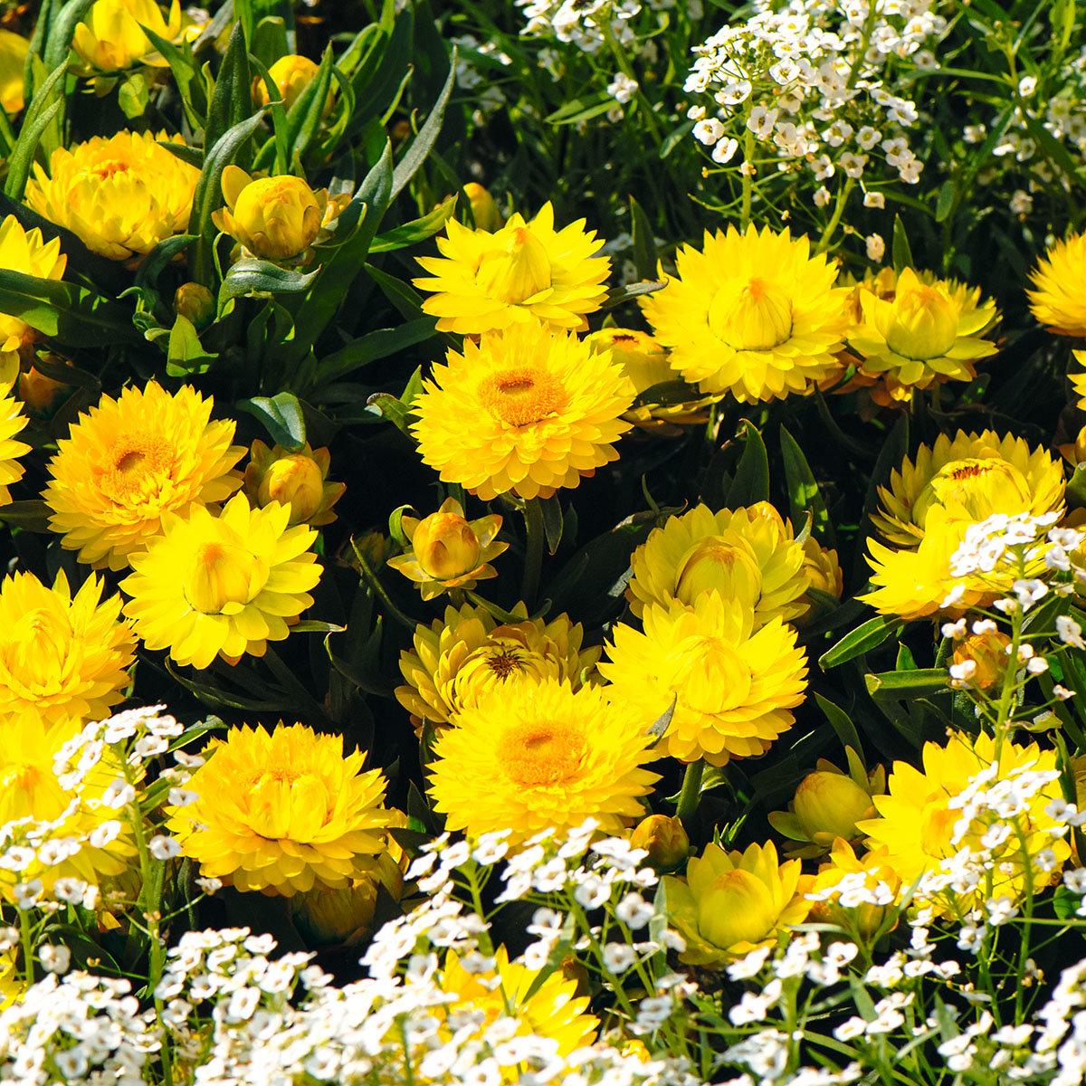 Gelbe Strohblume, im ca. 12 cm Topf | #3