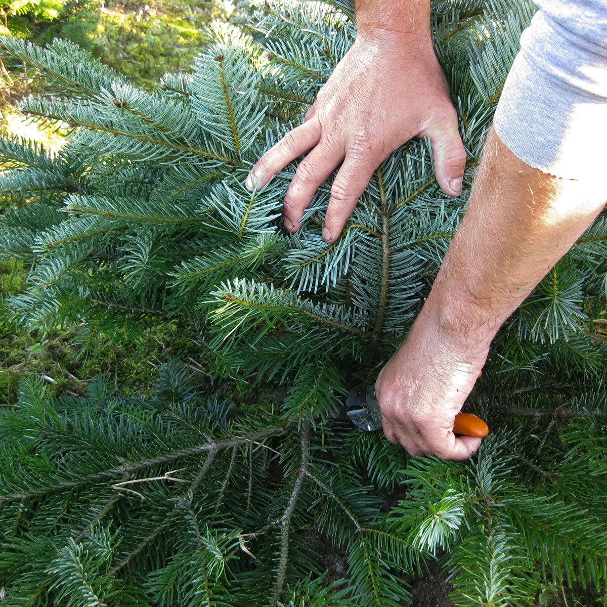 Weihnachtsbaum Nordmanntanne 100-125 cm | #3