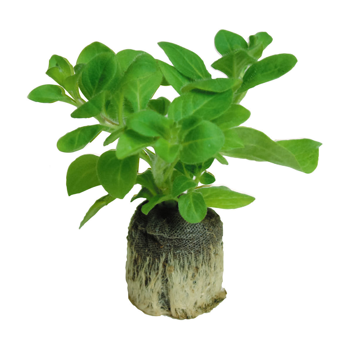 Mini-Jungpflanzen Calibrachoa-Petunien Carnival-Mischung | #3