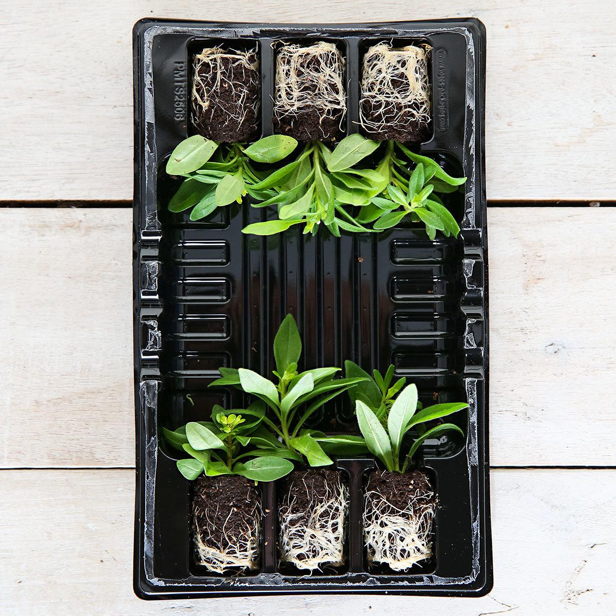Mini-Jungpflanze Calibrachoa-Petunie Chameleon | #3