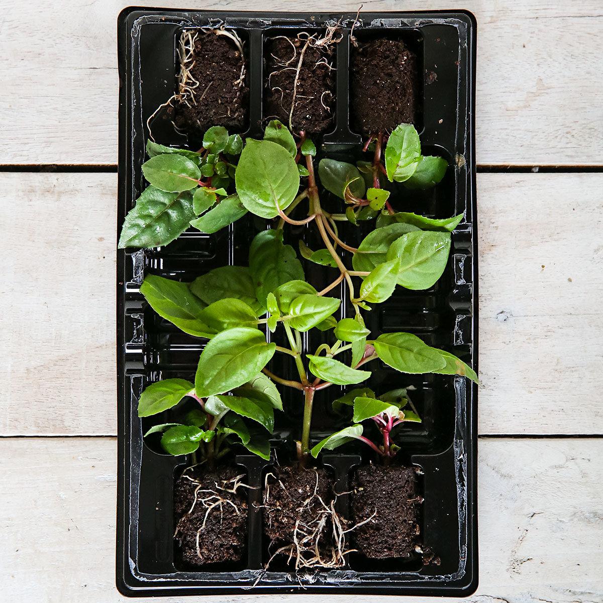 Mini-Jungpflanzen-Sortiment Hänge-Fuchsien | #3