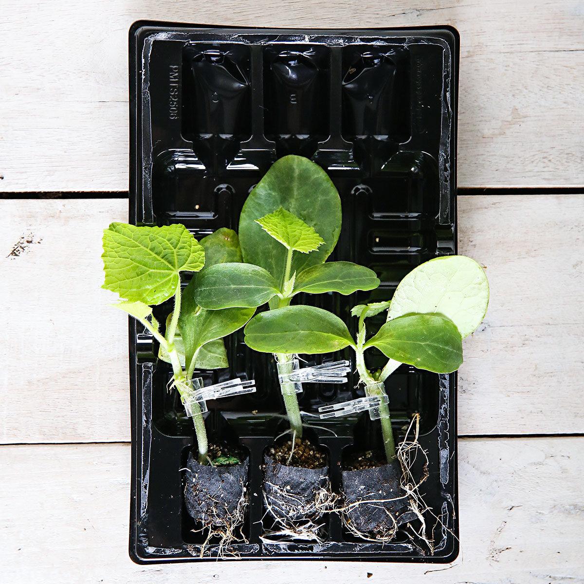 Mini-Jungpflanze Gurke Mini Stars F1, veredelt | #3