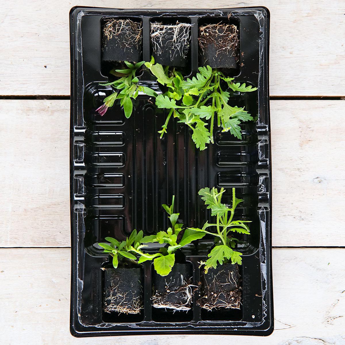 Mini-Jungpflanzen-Sortiment Pride of Britain | #3