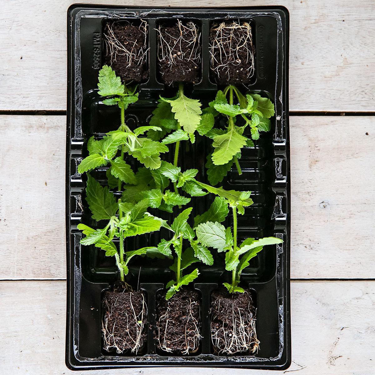 Mini-Jungpflanze Hänge-Verbene Rose White | #3