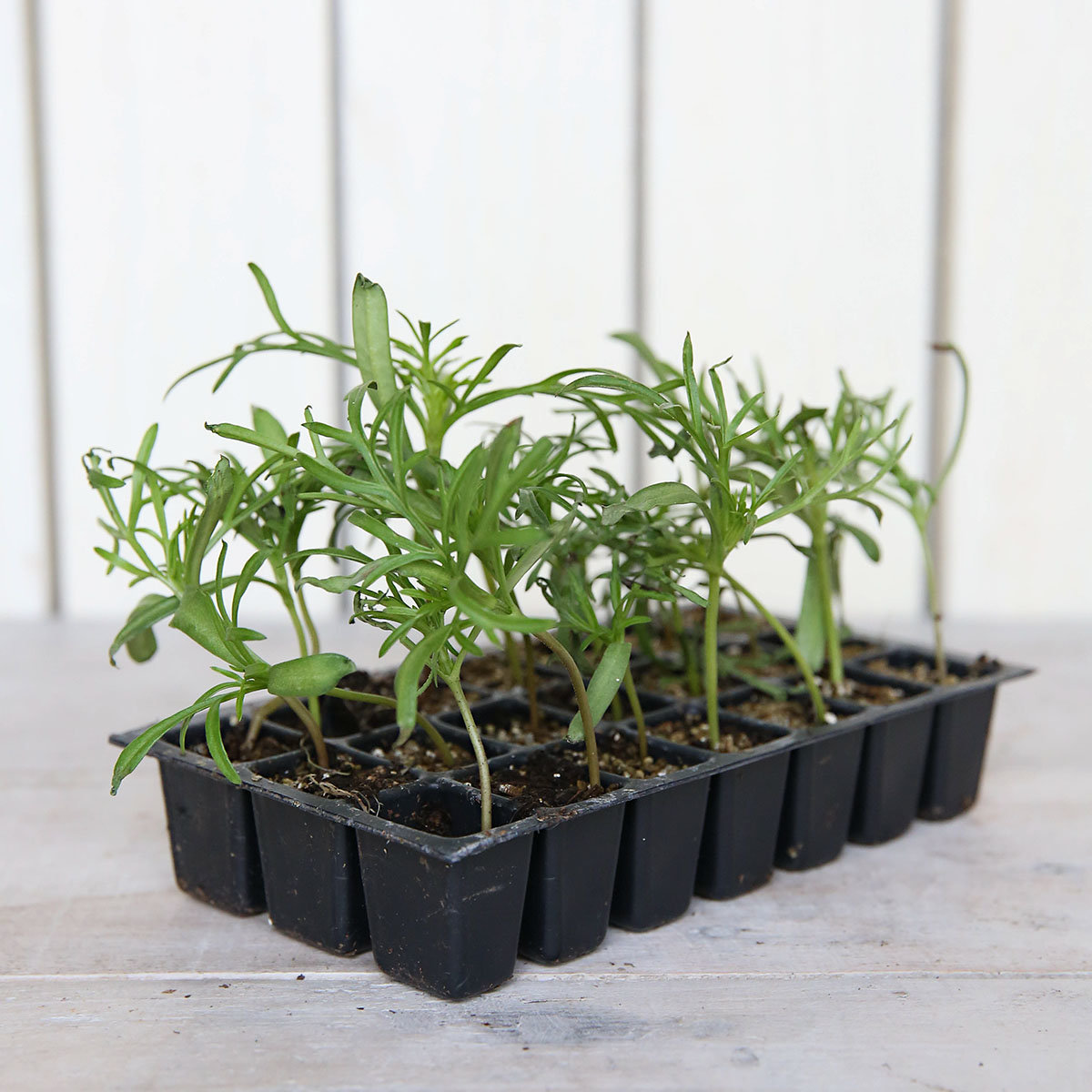 Mini-Jungpflanzen Schmuckkörbchen Sonata-Mischung | #3