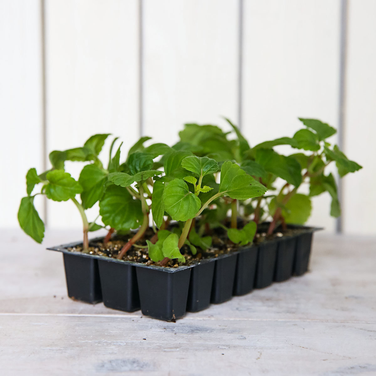 Mini-Jungpflanze Salvie Vista Rot | #3