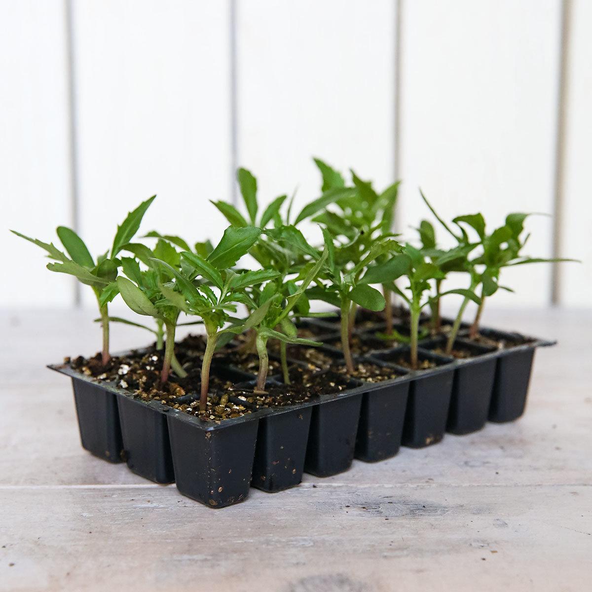 Mini-Jungpflanzen Tagetes Zenith F1-Mischung | #3