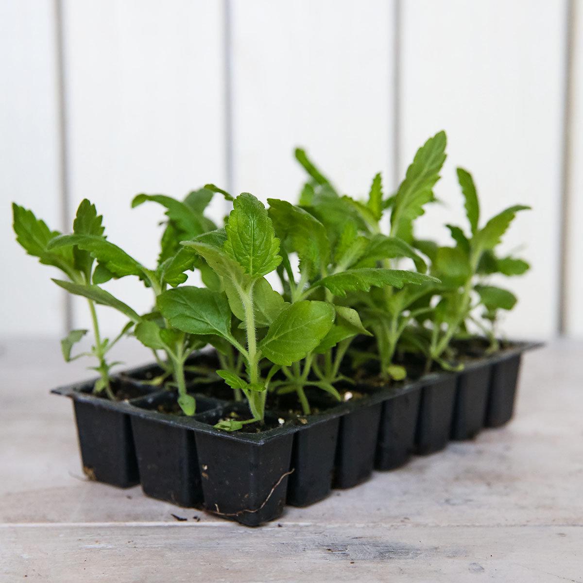 Mini-Jungpflanzen Verbenen Quartz-Mischung   #3