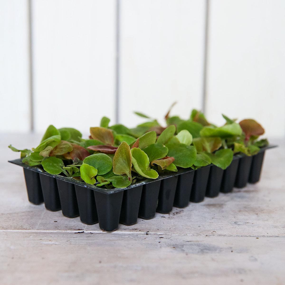 Mini-Jungpflanzen Begonien President F1-Mischung | #3
