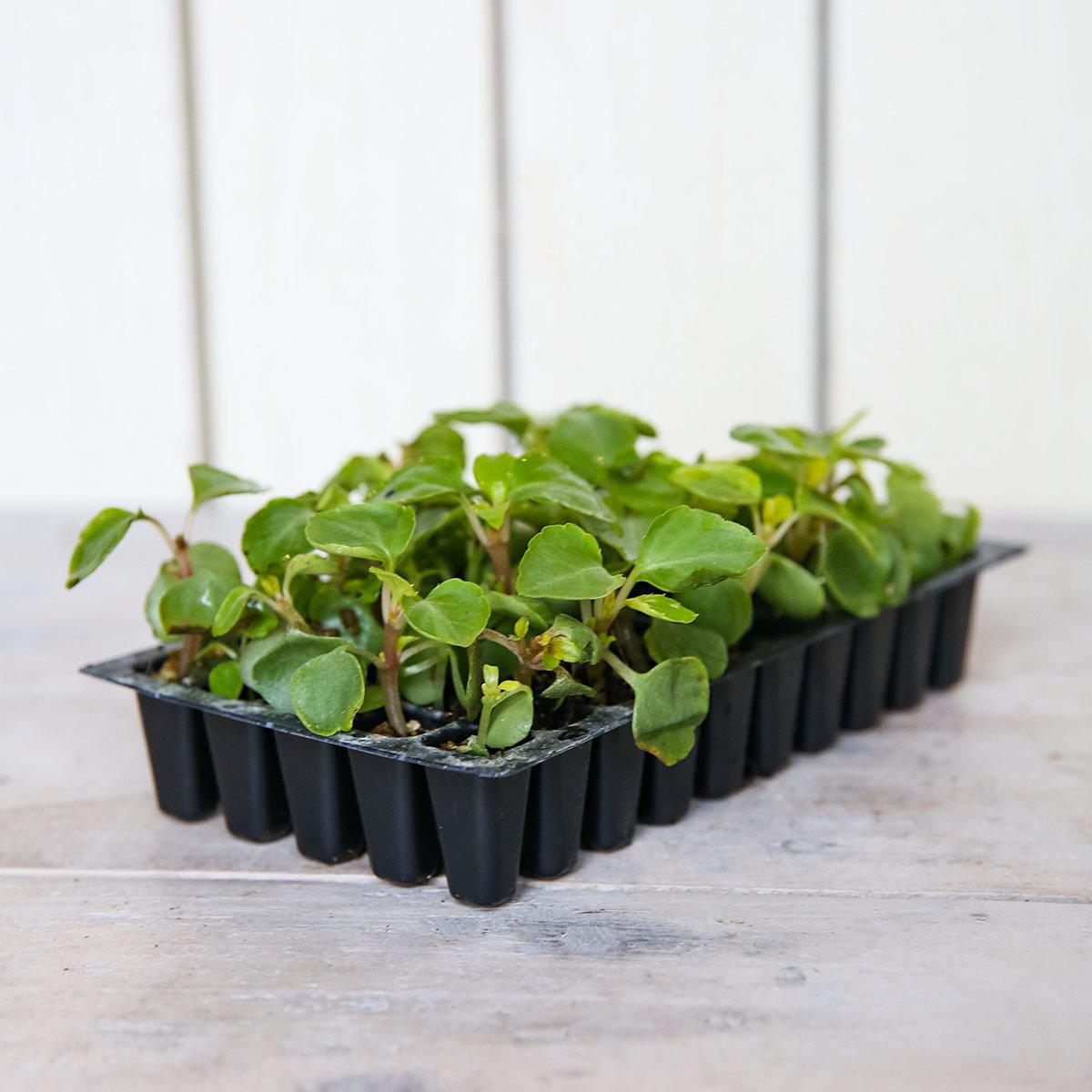 Mini-Jungpflanzen Fleißige Lieschen Lollipop F1-Mischung | #3