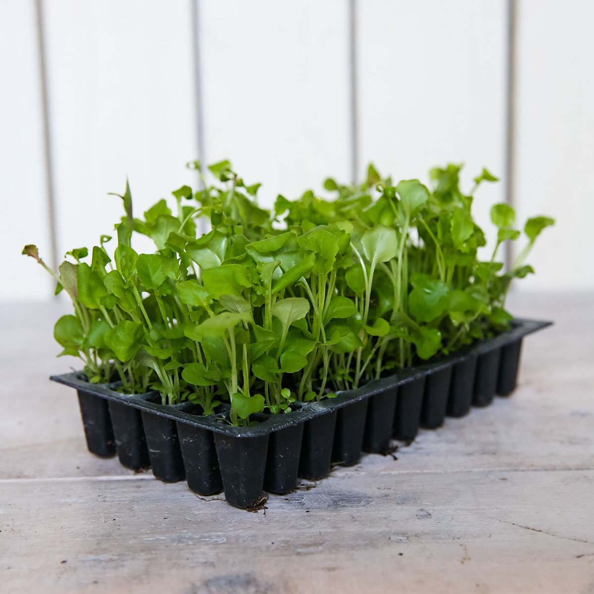 Mini-Jungpflanzen Männertreu Fountain-Mischung   #3