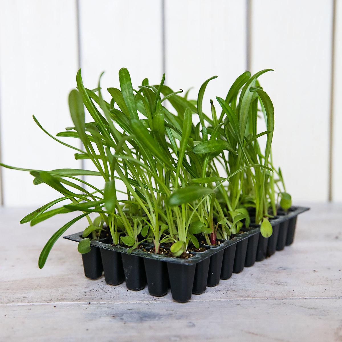 Mini-Jungpflanzen Mittagsgold Kiss F1-Mischung | #3