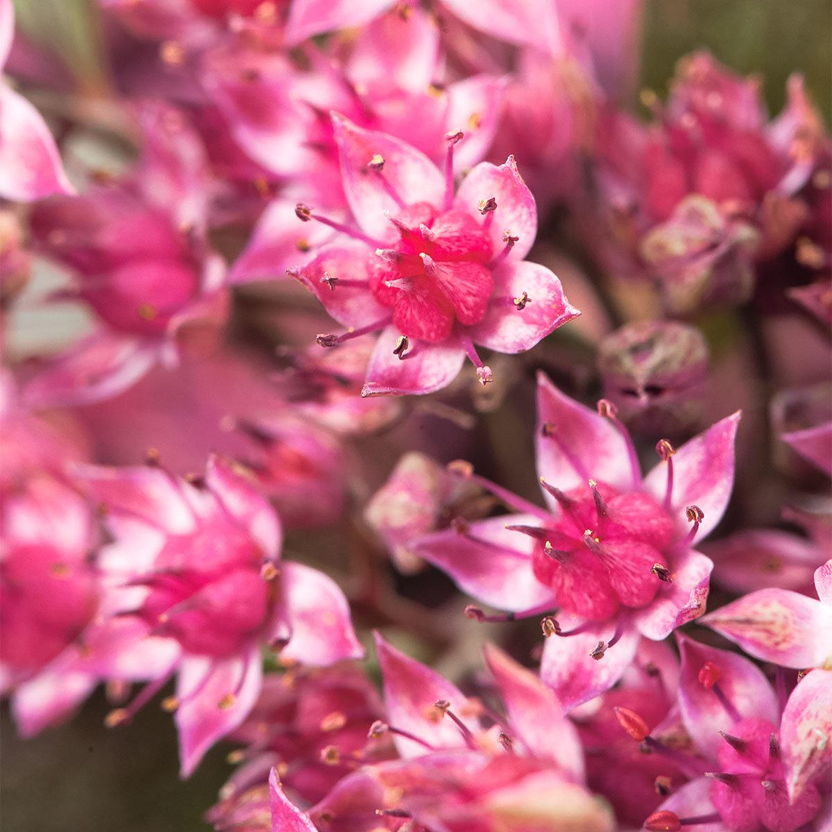 Polster-Fetthenne Sun Sparkler® Dazzleberry, im ca. 9 cm-Topf | #3