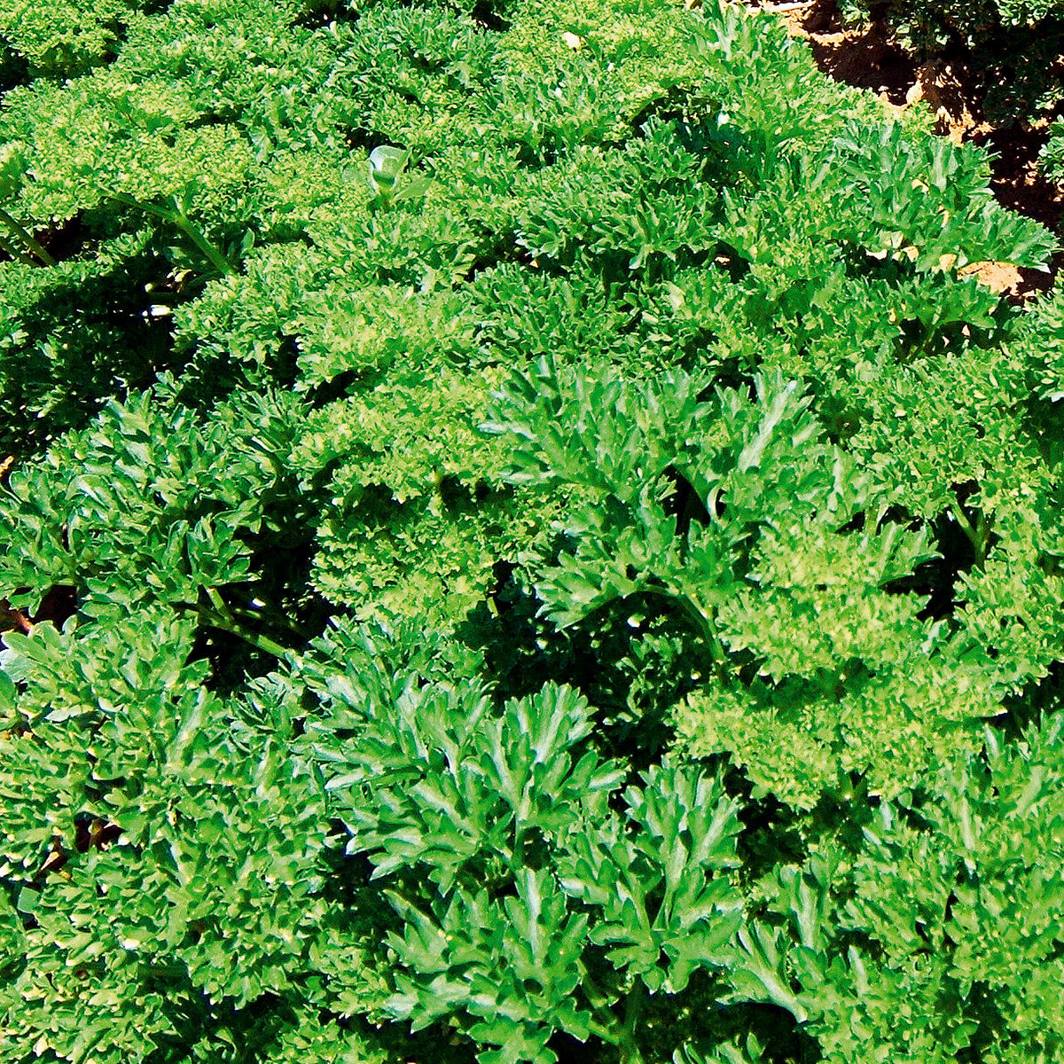 Petersiliensamen Frise vert fonce, Robust | #3