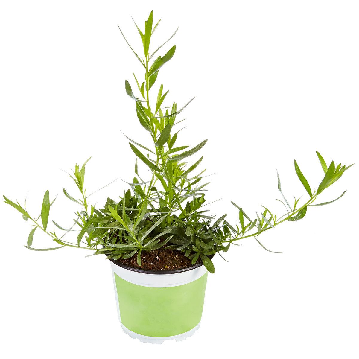 Küchenkräuterpflanze Estragon Pfefferkorn, im ca. 12 cm-Topf | #3