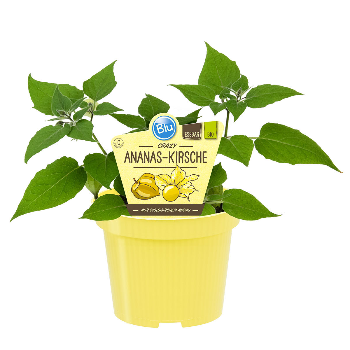 Andenbeerenpflanze Ananas-Kirsche | #3