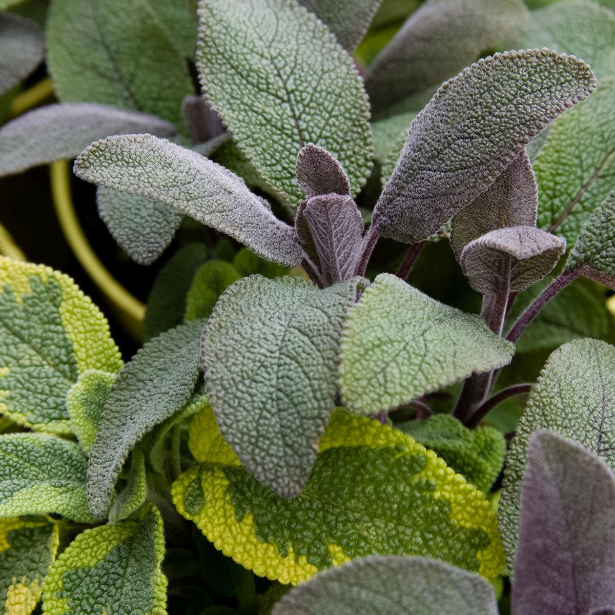 grüne Salbei-Pflanze im großen Topf vom Gärtner grün Salbei