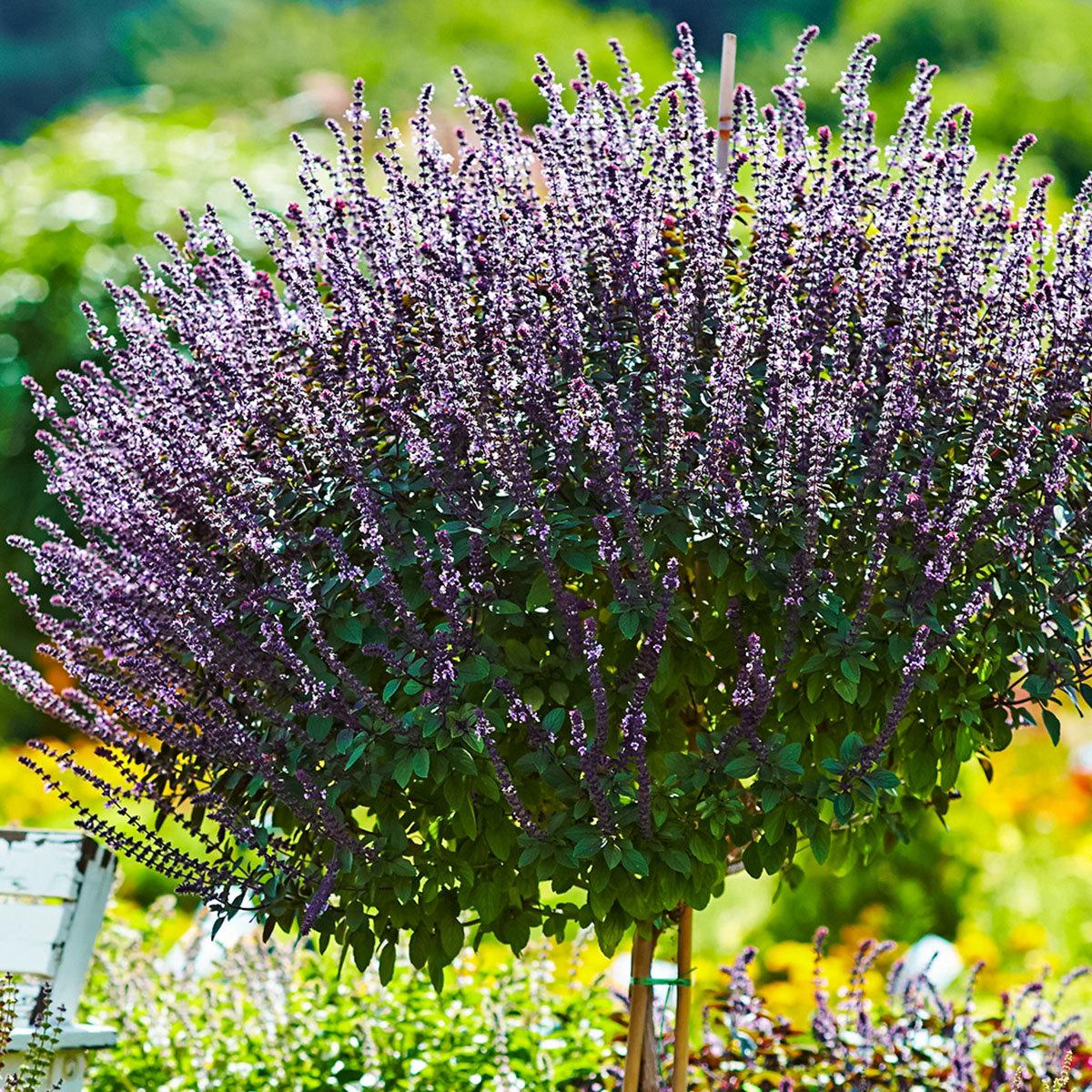 Küchenkräuterpflanze Basilikum Magic Blue, im ca. 12 cm-Topf | #3