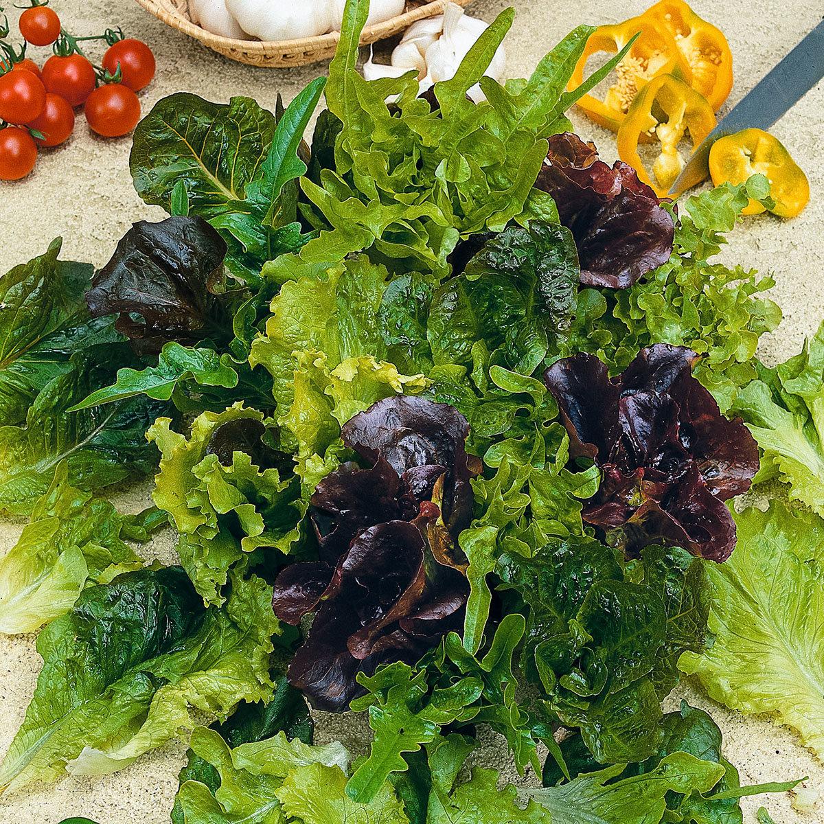Pflück-Salatpflanze, im ca. 11 cm-Topf | #3