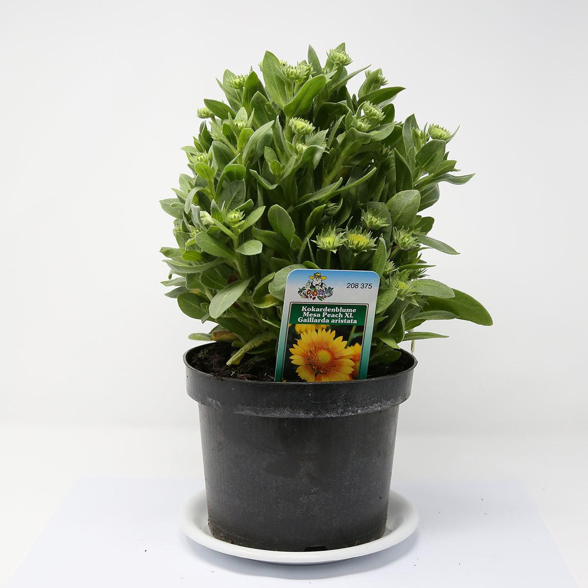 Kokardenblume Mesa Peach, XL-Qualität | #3